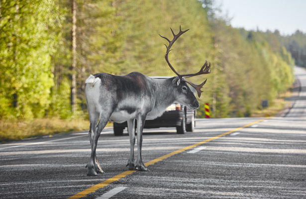 reindeer in the road with a car